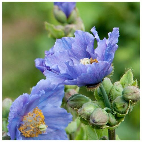 meconopsis-blå-11