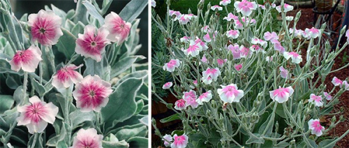 lychnis-coronaria-occulta-Angel´s-blush