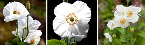 meconopsis-hvit-2