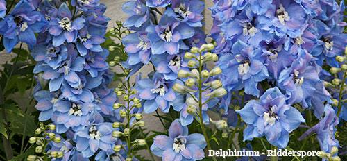 delphinium---ridderspore