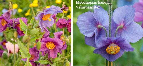 Meconopsis-baileyi