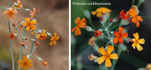 Primula-cockburniana